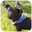 Photo 1 - Dachshund Mix Puppy for adoption in Patterson, California - CRICKET