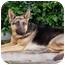Photo 3 - German Shepherd Dog Puppy for adoption in Los Angeles, California - Daisy von Denzinger