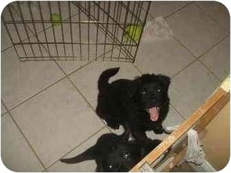 Clumber Spaniel/Chow Chow Mix Puppy for adoption in Sarasota, Florida - Bear