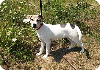Retriever (Unknown Type)/Hound (Unknown Type) Mix Dog for adoption in Linton, Indiana - RASCAL