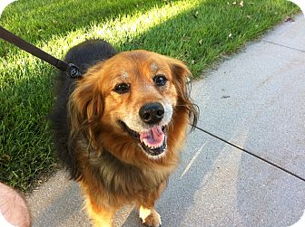 Collie/Australian Shepherd Mix Dog for adoption in Council Bluffs, Iowa - Annie