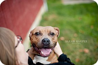 American Staffordshire Terrier Mix Dog for adoption in Reisterstown, Maryland - Lil' Lily