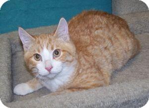 Domestic Shorthair Kitten for adoption in Colorado Springs, Colorado - K-Eva2-Art