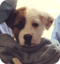 Chow Chow Mix Puppy for adoption in Gainesville, Florida - London