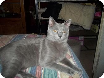 Russian Blue Cat for adoption in Longview, Texas - Mister