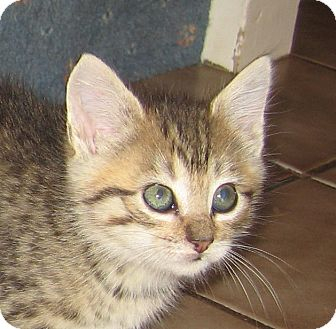 Domestic Shorthair Kitten for adoption in Hamilton, New Jersey - LILY - 2013