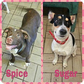 Labrador Retriever/Terrier (Unknown Type, Medium) Mix Puppy for adoption in Lisbon, Ohio - Sugar & Spice