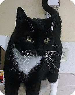 Domestic Shorthair Cat for adoption in Grand Junction, Colorado - Spooky