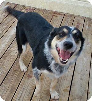 Australian Shepherd Mix Dog for adoption in Overland Park, Kansas - Hank