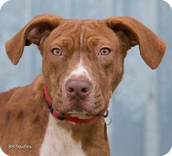 Vizsla/Boxer Mix Dog for adoption in Jersey City, New Jersey - George Takei