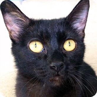Domestic Shorthair Cat for adoption in Calgary, Alberta - Fancy