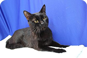 Domestic Shorthair Cat for adoption in Midland, Michigan - Duncan - NO FEE