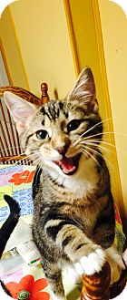 Domestic Shorthair Kitten for adoption in Turnersville, New Jersey - Snap