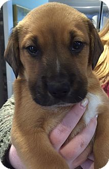 St. Bernard/Golden Retriever Mix Puppy for adoption in PARSIPPANY, New Jersey - JACKSON, JAMIE AND JENNY