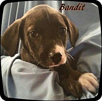 Terrier (Unknown Type, Medium) Mix Puppy for adoption in Ahoskie, North Carolina - Bandit