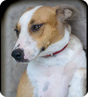 Labrador Retriever Mix Puppy for adoption in Preston, Connecticut - Rose AD 12-17-16
