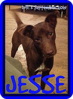 German Shepherd Dog/Terrier (Unknown Type, Medium) Mix Dog for adoption in Albany, New York - JESSE