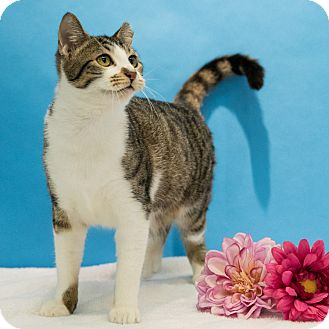 Domestic Shorthair Cat for adoption in Houston, Texas - Fernet