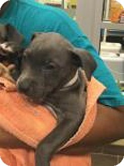 Pit Bull Terrier Mix Puppy for adoption in Columbus, Georgia - Muse 9578