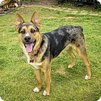 Adopt A Pet :: Atticus - Athens, GA