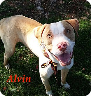 Pit Bull Terrier Mix Dog for adoption in El Cajon, California - Alvin