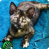 Adopt A Pet :: Silly Kitten - Homestead, FL