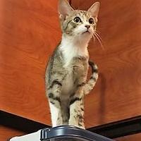 Adopt A Pet :: TIc (Kit 1 061017) - McDonough, GA