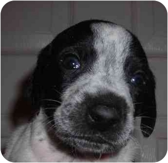 Pointer/Whippet Mix Puppy for adoption in Olive Branch, Mississippi - Donner