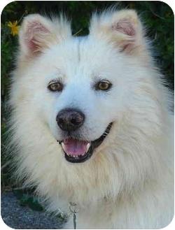 American Eskimo Dog/Husky Mix Dog for adoption in Los Angeles, California - Kai von Krieger