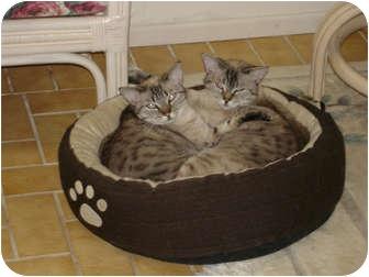 Siamese Cat for adoption in Laguna Woods, California - Stella