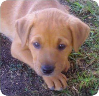 Labrador Retriever Mix Puppy for adoption in Long Beach, California - Timmy
