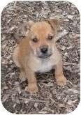 Hound (Unknown Type)/Boxer Mix Puppy for adoption in Plainfield, Connecticut - Blotch