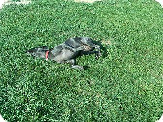 Weimaraner Dog for adoption in Grand Haven, Michigan - Cabella