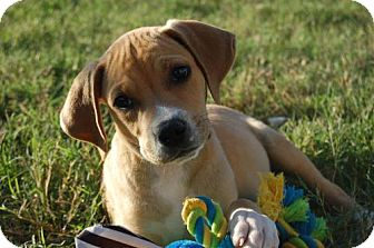 Coonhound (Unknown Type)/Labrador Retriever Mix Puppy for adoption in Flower Mound, Texas - Greg