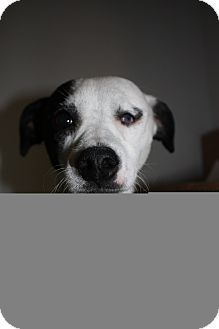 Jack Russell Terrier Mix Dog for adoption in Stilwell, Oklahoma - Petey