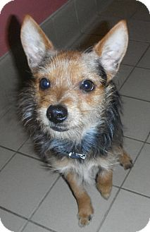 Yorkie, Yorkshire Terrier Mix Dog for adoption in Jackson, Michigan - Ty