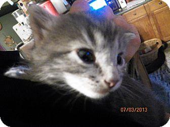 Domestic Longhair Kitten for adoption in Benton, Pennsylvania - Spike