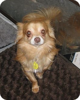 Chihuahua Dog for adoption in Prole, Iowa - Oscar