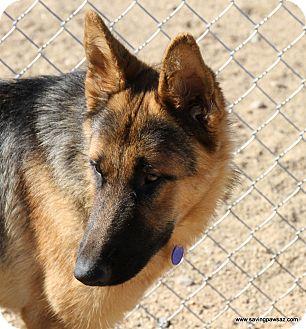 German Shepherd Dog Dog for adoption in Phoenix, Arizona - Ranko