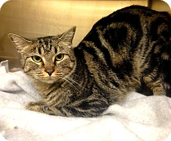 Domestic Shorthair Cat for adoption in Lake Worth, Texas - Angel