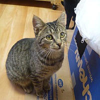Domestic Shorthair Cat for adoption in MADISON, Ohio - Pandora