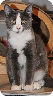 Domestic Shorthair Cat for adoption in McDonough, Georgia - Pattycake