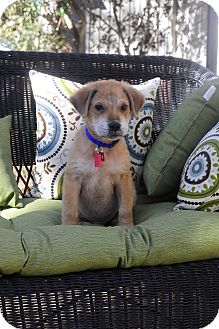 Labrador Retriever/German Shepherd Dog Mix Puppy for adoption in Greenfield, Wisconsin - Doug