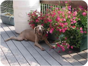 Weimaraner Dog for adoption in Grand Haven, Michigan - Willow