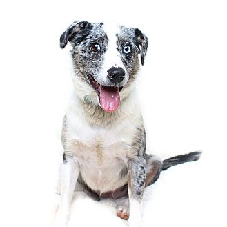 Australian Shepherd Mix Dog for adoption in Wilmington, Delaware - Dottie