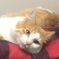 Adopt A Pet :: Ringo - Oakland, OR