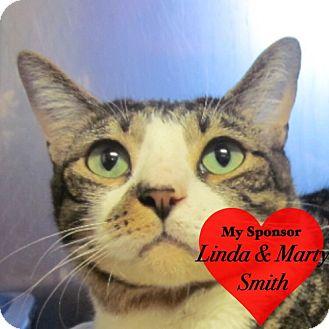 Domestic Shorthair Cat for adoption in San Leon, Texas - Pepper Jack