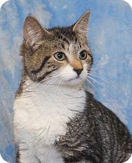 Domestic Shorthair Kitten for adoption in Elmwood Park, New Jersey - Gidget