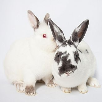 Lionhead Mix for adoption in Los Angeles, California - Tint