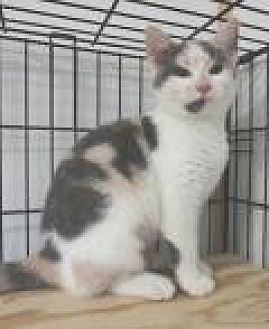 Calico Cat for adoption in Stuart, Virginia - Tinsley